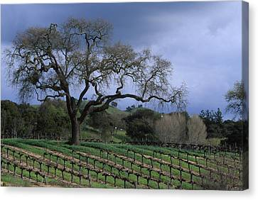 Vineyard - Foxen Canyon Canvas Print by Soli Deo Gloria Wilderness And Wildlife Photography