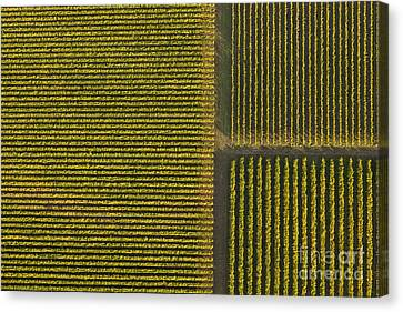 Vineyard From Above Canvas Print