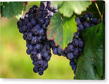 Wine Making Canvas Print - Vineyard Harvest Time by Jenny Rainbow