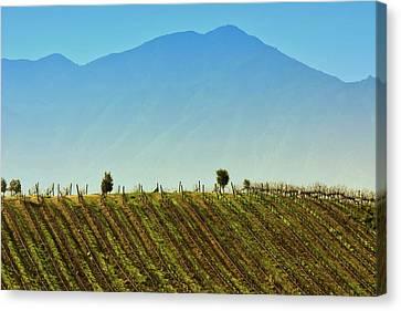 Vineyard In Tapihue Canvas Print by Fernando Lopez Lago
