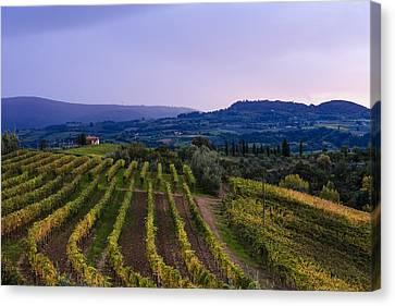 Vineyard, Near Ulignano  Tuscany, Italy Canvas Print