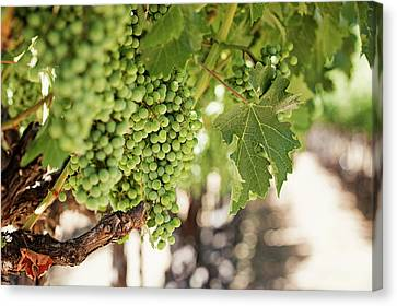 Canvas Print featuring the photograph Wine Vineyard Of St. Helena - Grapevine Napa Valley Photography by Melanie Alexandra Price