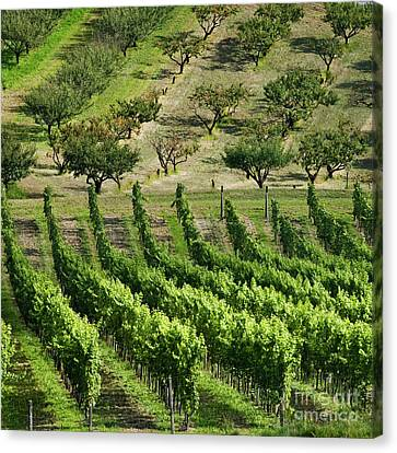 Vineyards And Orchards Canvas Print