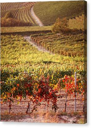 Vineyards, Barbaresco Docg, Piedmont Canvas Print by Panoramic Images