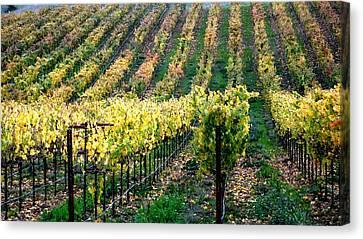 Vineyards In Healdsburg Canvas Print by Charlene Mitchell