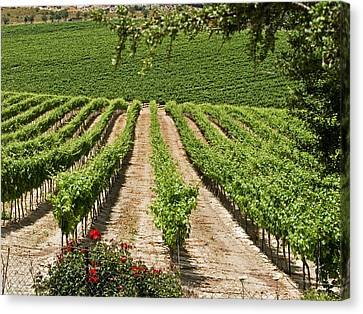 Vineyards In The Galilee 2 Canvas Print by Arik Baltinester