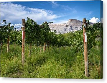 Vineyards In The Grand Valley Canvas Print by Teri Virbickis