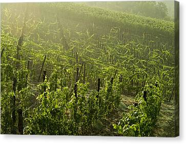 Vineyards Shrouded In Fog Canvas Print by Todd Gipstein