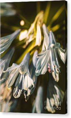 Vintage Agapanthus Flower Canvas Print by Jorgo Photography - Wall Art Gallery