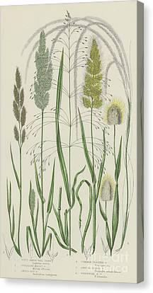 Vintage Botanical Print Of Grass Varieties Canvas Print
