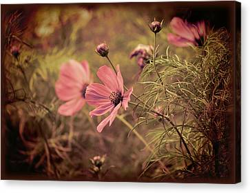 Canvas Print featuring the photograph Vintage Cosmos by Douglas MooreZart