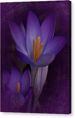 Canvas Print featuring the photograph Vintage Crocus 2017 by Richard Cummings