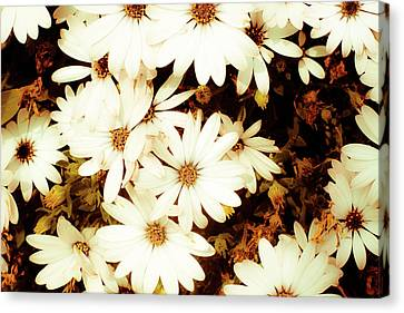 Vintage Daisies Canvas Print by Denice Breaux