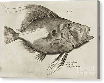 Vintage Fish Print Canvas Print by Antonio Lafreri
