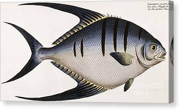 Vintage Fish Print Canvas Print by German School