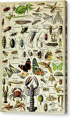 Beetle Canvas Print - Vintage Illustration Of Various Invertebrates by Adolphe Philippe Millot