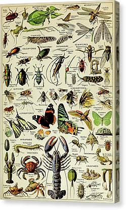 Vintage Illustration Of Various Invertebrates Canvas Print