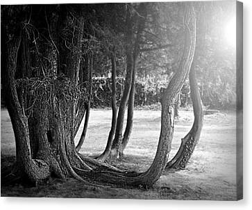 Tree Roots Canvas Print - Vintage Roots by Diana Angstadt