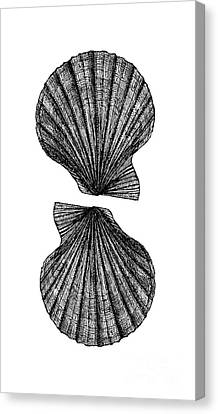 Canvas Print featuring the photograph Vintage Scallop Shells by Edward Fielding