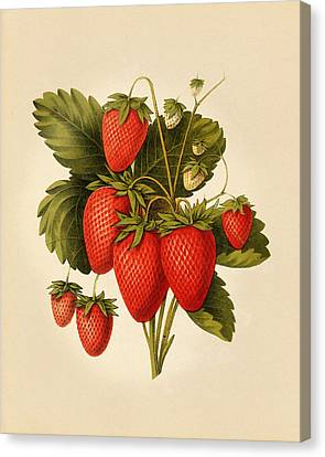 Vintage Strawberries Canvas Print