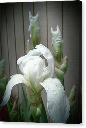 Vintage White Iris Canvas Print