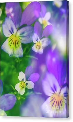 Pansies Canvas Print - Viola Tricolor by Veikko Suikkanen