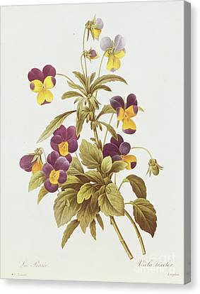 Viola Tricolour  Canvas Print by Pierre Joseph Redoute