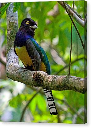 Violaceus Trogon Canvas Print