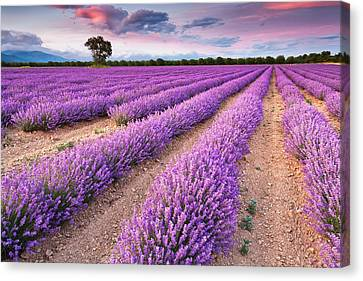 Violet Dreams Canvas Print by Evgeni Dinev
