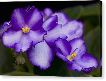 Violet Dreams Canvas Print by William Jobes