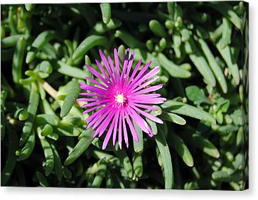 Ice Plant Canvas Print