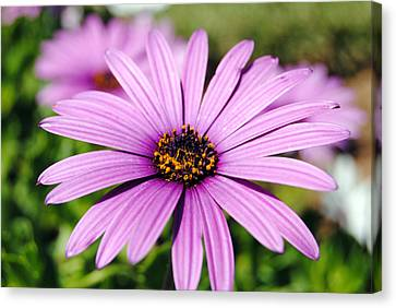 The African Daisy 1 Canvas Print