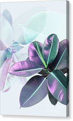 Violet Rubber Plant Canvas Print