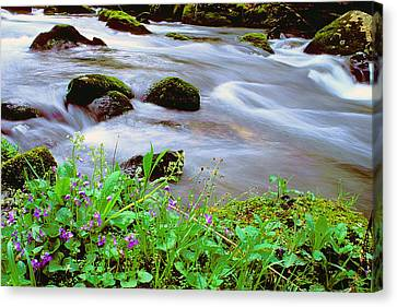 Violets Along Hazel Creek Canvas Print by Alan Lenk