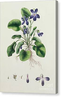 Violets Canvas Print by English School