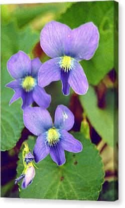 Violets Canvas Print by Jame Hayes