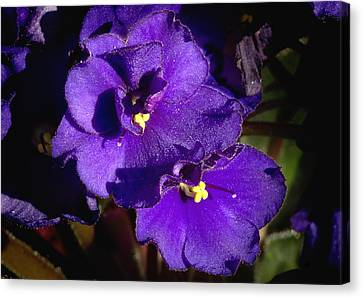 Canvas Print featuring the photograph Violets by Phyllis Denton