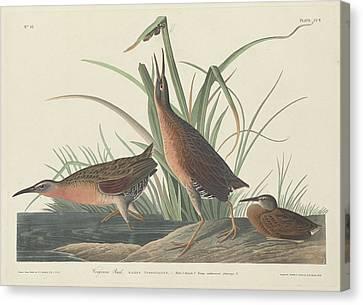 Virginia Canvas Print - Virginia Rail by Dreyer Wildlife Print Collections