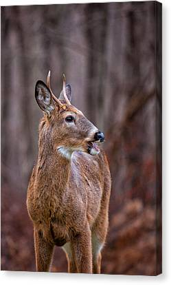 Four Animal Faces Canvas Print - Visiting Buck by Karol Livote