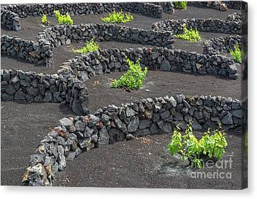 Wine Scene Canvas Print - Volcanic Vineyards by Delphimages Photo Creations