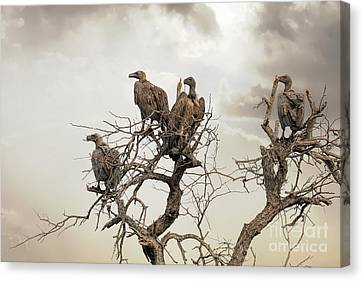 Vultures In A Dead Tree.  Canvas Print by Jane Rix
