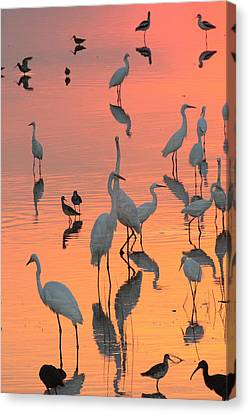 Wading Birds Forage In Colorful Sunset Canvas Print by George Grall