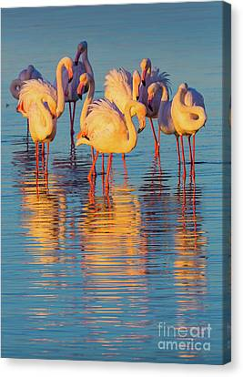 Wading Flamingos Canvas Print by Inge Johnsson