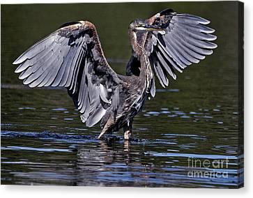 Wading Heron Canvas Print