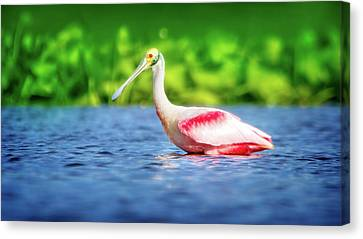 Wading Spoonbill Canvas Print by Mark Andrew Thomas