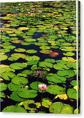 Wailea Water Lilies Canvas Print by Jennifer Ott