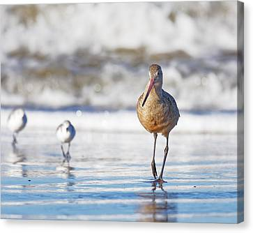 Wait For Us -- Marbled Godwit In Morro Bay, California Canvas Print