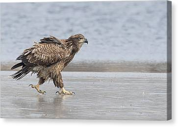 Walk Like An Eagle Canvas Print