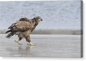 Walk Like An Eagle Canvas Print by Kelly Marquardt