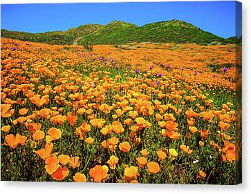 Walker Canyon Wildflowers Canvas Print by Lynn Bauer